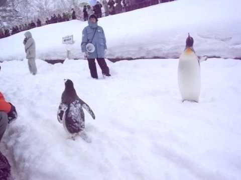 旭山動物園のペンギン散歩#1