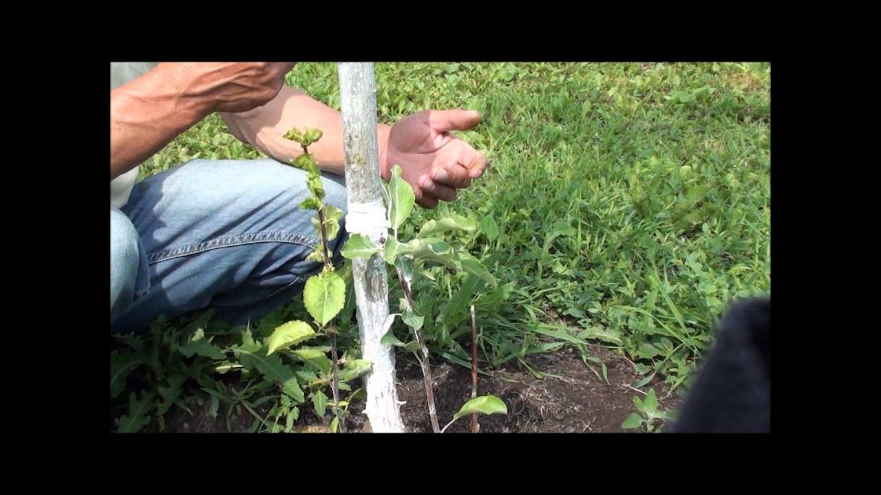 Как сделать прививку мостиком на яблоне