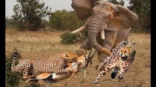 Heroic Elephant feels uncomfortable when Impala is bullied by Cheetah