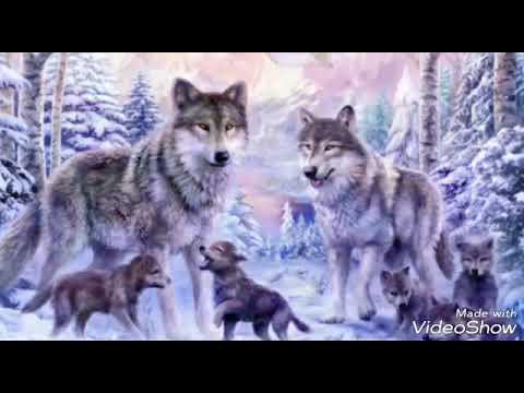 Wölfe die schönsten tiere