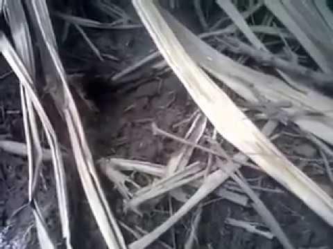 wow....mancing belut di lahan sawit!!!!
