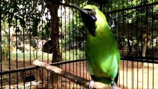 tes kemampuan burung cucak ijo dan Pancingan cucak ijo cepat gacor