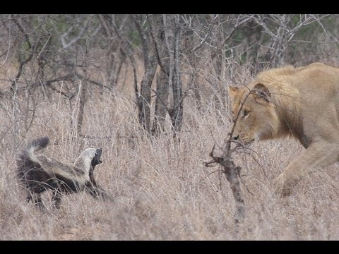 Honey Badger Narrates: Honey Badger Meets Prickly Porcupine