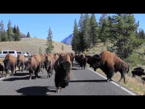 Bison Charge - Yellowstone National Park