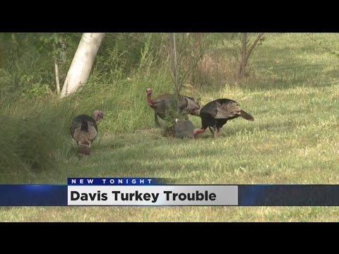 Sterilize, Trap or Kill? Davis Faces Turkey Troubles As Fowl Population Nears 100