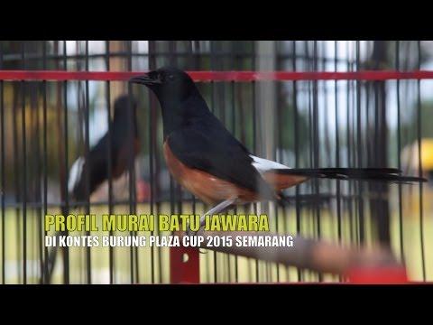 Suara Burung : Aksi Murai Batu Gacor Di Plaza Cup 2015 Semarang video