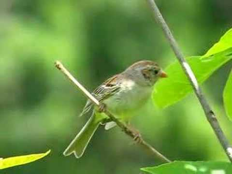 Field Sparrow Singing