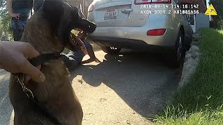"Police Belgian Malinois ""Sicaria"" Eats Bad Guy For Lunch"