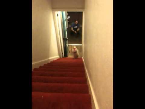Suns biksēs uz kāpnēm