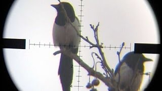 Air Rifle Magpie shot on 143m/156yards -Pest Control #3