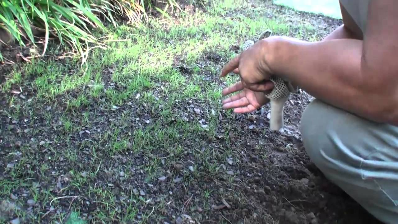 Compadre Zenith Zoysia grass Seed vs Plugs Part 1 How to ...