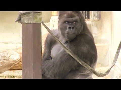 Was Tiere So Denken 65 - Aggro Gorilla