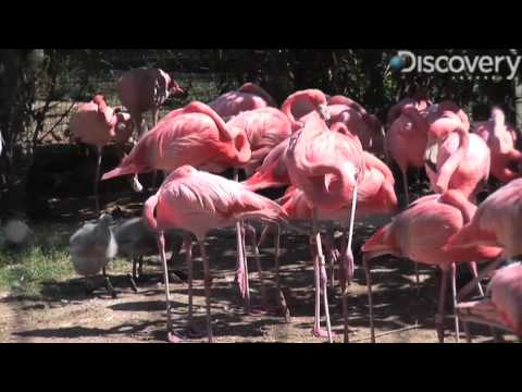 Caribbean Flamingo Video