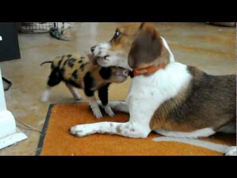 Beagle vs. Hog