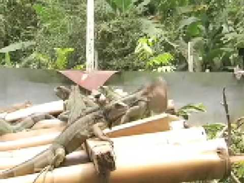 Green Iguanas Video