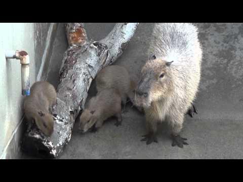 カピバラの赤ちゃん!いしかわ動物園!2011.05.28