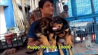 Cute Rottweiler & German Shepherd Puppy At Galiff Street l Rot & Gsd Puppy Fight