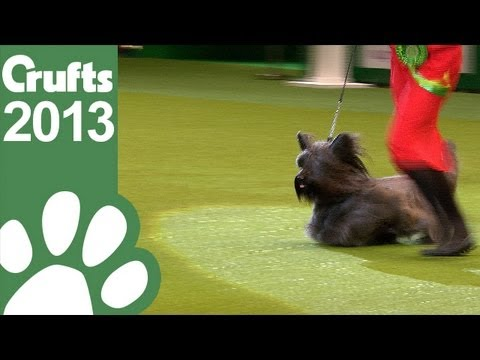 Group Judging - Terrier - Crufts 2013