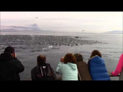 Biomass Humpback Whale & Sea Lion Feeding Frenzy Monterey, CA