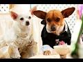 Un Chihuahua En Beverly Hills 2 (Trailer Español)