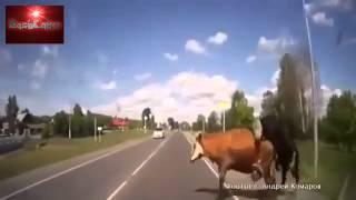 Man hits cow having sex on road way
