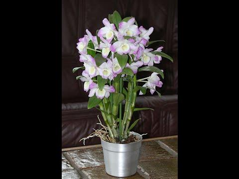 Как пересадить орхидею дендробиум в домашних условиях видео