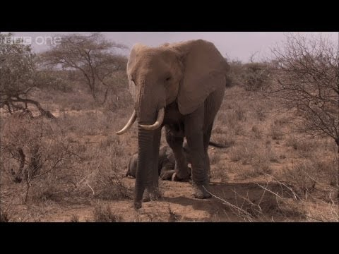 Elephant Calf Dies - Africa - Episode 2 Preview - BBC One