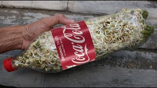 Growing bean sprouts - this way housewife gives up