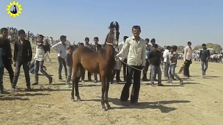 hores indian desee ghodee marwari filly 2017