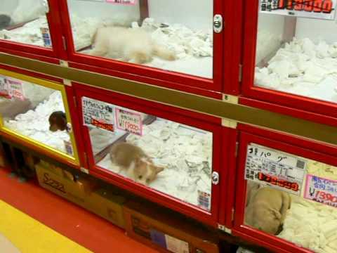 small dog pet shop japan fukuoka   youtube