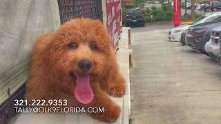 """5 Month Old Doodle """"Reba"""" 