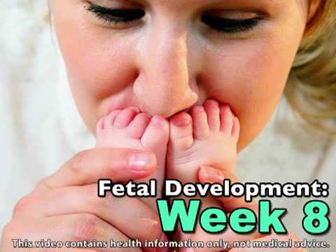 Fetal Development Week 8 (Pregnancy Health Guru)