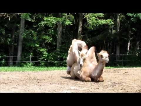 Liebesleben der Kamele (Teil 1)