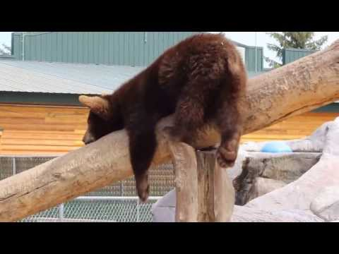 Clumsy Baby Bear at Yellowstone Bear World - Part 1