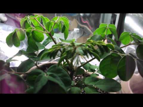 Moringa Oleifera Indoor Grow