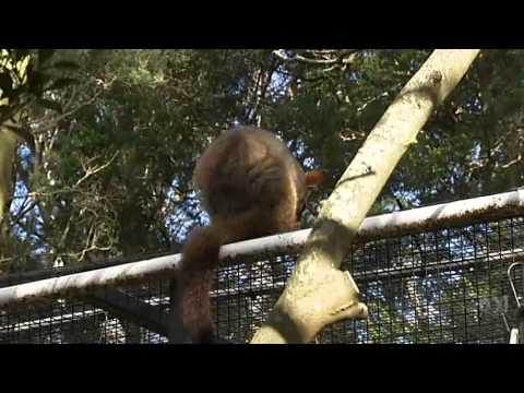 Video 1:42          Flying fox rehabilitation centre expands in Sydney