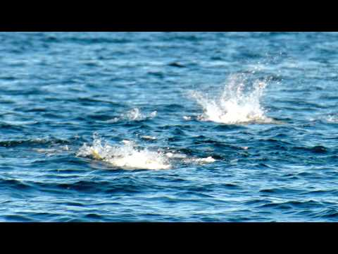 Yellowtail (Jurel) Fishing Action. San Carlos, Mexico - Pesca de Jurel