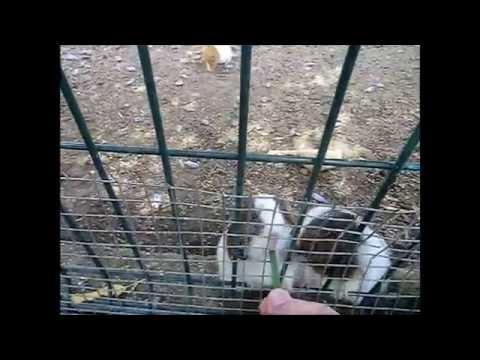 Guinea pigs cuteness