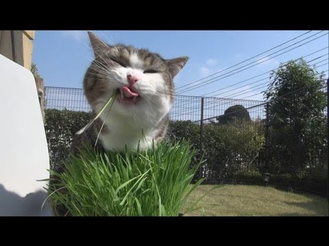 青空と猫草とねこ。-Blue sky and cat grass and Maru.-