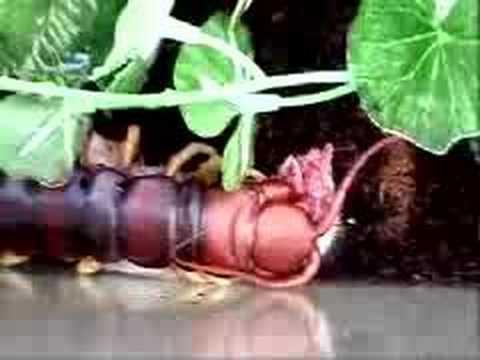 V Mouse Eating Scene Giant centipede eating...