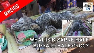 Weird Animal With 'Body of Buffalo and Head of Crocodile'