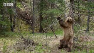 Bears Dancing To 'Jungle Boogie' | Planet Earth II