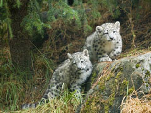 Snow Leopard KITTENS! Video