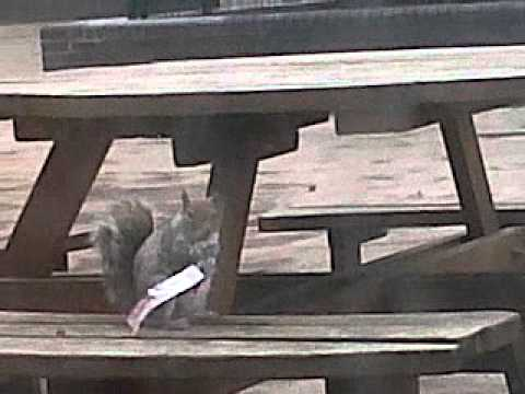 Hibernation Season. Have A Break Have A Kit Kat Squirrel  Nestle Kit Kat Squirrel video