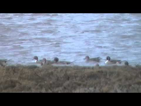 Birds at Nigg Bay in Scotland, Pintails, Buzzard
