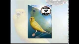 cd canary songs - (chants) - شريط كامل تغريد الكناري