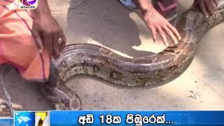 A 18-foot-long Python near the Nagoda Hospital in Kalutara ...