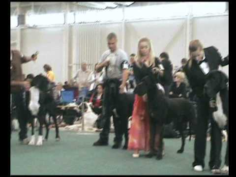 World Dog Show 2009 - Great Danes - black/males/open class