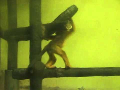 キンシコウのあかちゃん @東山動物園