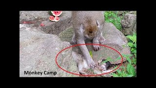 RIP to baby monkey, Mom Rosa cry after know her baby gone, Baby gone away cuz of Tuk Tuk Accident
